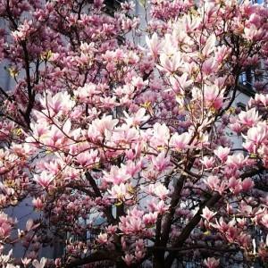 Un magnolia à la Sallaz.
