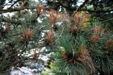 Un pin aux abords du parc du Désert