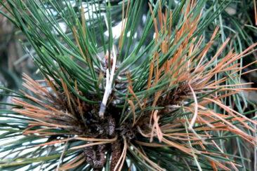 Gros plan d'un pin aux abords du parc du Désert