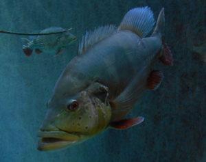 Un je-ne-sais-quoi d'antipathique dans le regard de ce gros poisson amazonien...